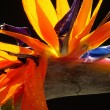 Bird of paradise - flower — Stock Photo