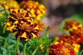 Close-up Tagetes — Stock Photo
