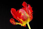 Clopse-up tulip — Stock Photo
