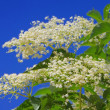 Stock Photo: Elder flower