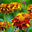 Stock Photo: Tagetes close-up