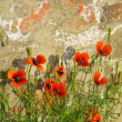 Stock Photo: Corn poppy before wall
