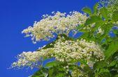 Ouderling bloem — Stockfoto