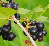 Svarta vinbär — Stockfoto
