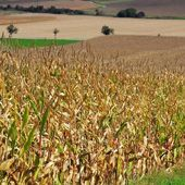 Corn field in fall — Stock Photo