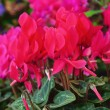 Cyclamen — Stock Photo