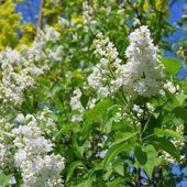 Lilac white — Stock Photo