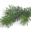 Fir branch — Stock Photo #34414975