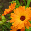 Close-up calendula — Stock Photo #35002959
