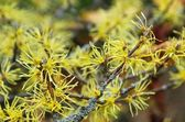 Hamamelis virginiana — Stock Photo