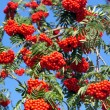 Close-up Rowan  — Foto Stock