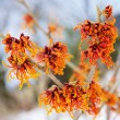 Hamamelis Virginia - plant — Stock Photo #35126363