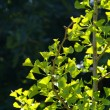 Ginkgo biloba, ginkgo - relict plant — Stock Photo #35127127