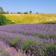 Lavender and  sunflowers  — Stockfoto