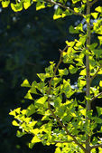 Ginkgo biloba, ginkgo - relict plant — Stock Photo