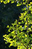 Ginkgo biloba, ginkgo - relict plant — Stock Photo