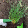 Stock Photo: Pennisetum planting