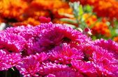 Close-up Chrysanthemum — Stock Photo