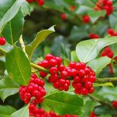 Close-up Ilex — Stock Photo