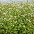 Flowering buckwheat — Stock Photo