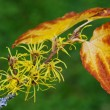 Hamamelis virginiana — Stock Photo #35955245