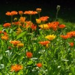 View of calendula  — Stock Photo