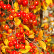 Wild cherry in fall — Stock Photo