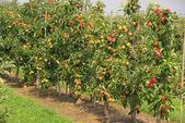 Apple on tree — Stock Photo