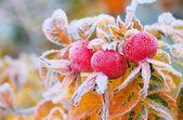 Cadera en invierno — Foto de Stock