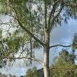 Stock Photo: Eucalyptus