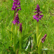 Western marsh orchid — Stock Photo