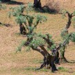 Olive grove — Stock Photo #36032819