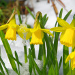 Close-up daffodil — Stock Photo