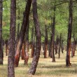 Stock Photo: Pine forest resin extraction