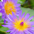 Water lily — Stock Photo #36035383