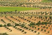 Gaj oliwny — Zdjęcie stockowe
