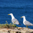 Bird - gull — Stock Photo #36363341