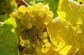 Grape white — Stock Photo