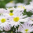 Aster white — Stock Photo