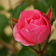 Close-up of the red Rose — Stock Photo