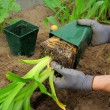 Stock Photo: Planting daylily