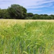 Barley field — Stock Photo #36695723
