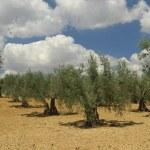 Olive grove — Stock Photo #36697827