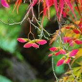 Acer palmatum — Stock Photo