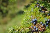 Close-up of the juniper — Stock Photo