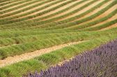 Lavender field harvest — Stock Photo