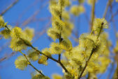Close-up of the catkin — Stock Photo