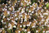 Close-up thyme — Stockfoto