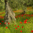 Poppy and olive tree — Stock Photo