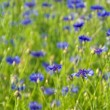 Cornflower — Stock Photo #36894389